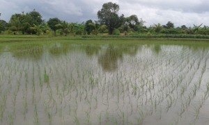 Our model field, barely any weeds, strong and healthy rice sprouts with quick growth.